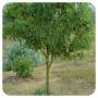 ACEITE ESENCIAL RAVINTSARA BIO (CINNAMOMUM CAMPHORA) 10 CC PRANAROM