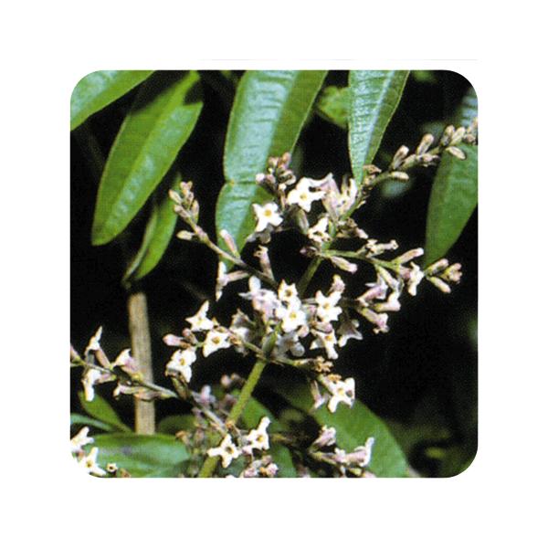 ACEITE ESENCIAL DE HIERBALUISA (LIPPIA CITRIODORA) 5 CC PRANAROM