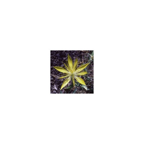 E.F. BLAZING STAR 7,5 ML.